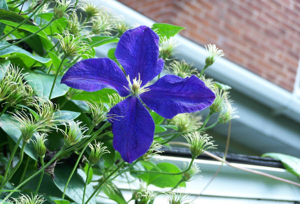 Homeplace, clematis